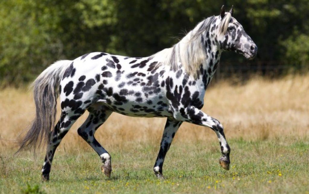 razas-de-caballos
