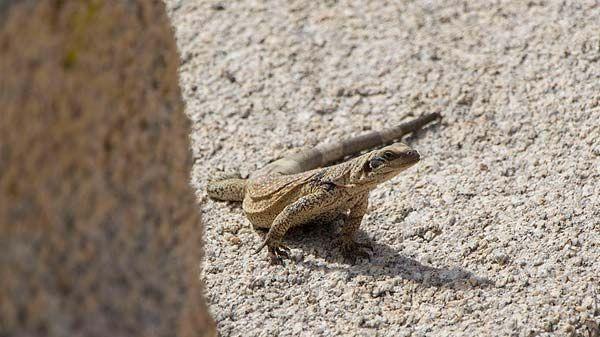 razas de reptiles-chuckwalla