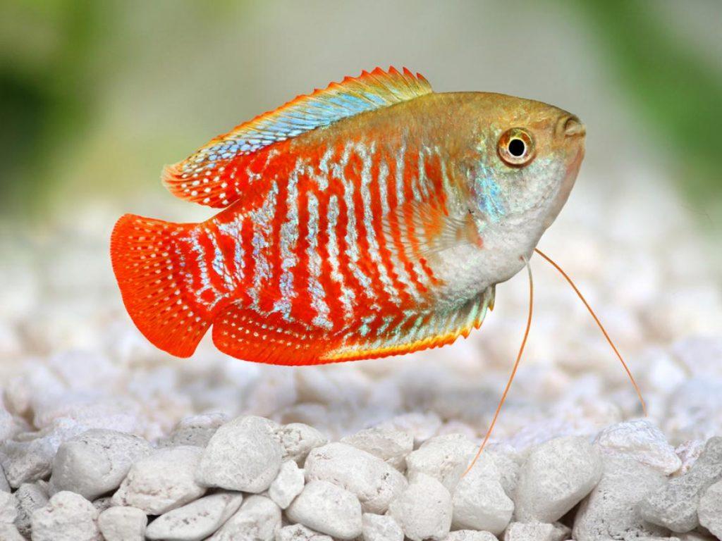 10-especies-de-peces-de-gran-belleza-para-acuario-pez-disco-Gourami