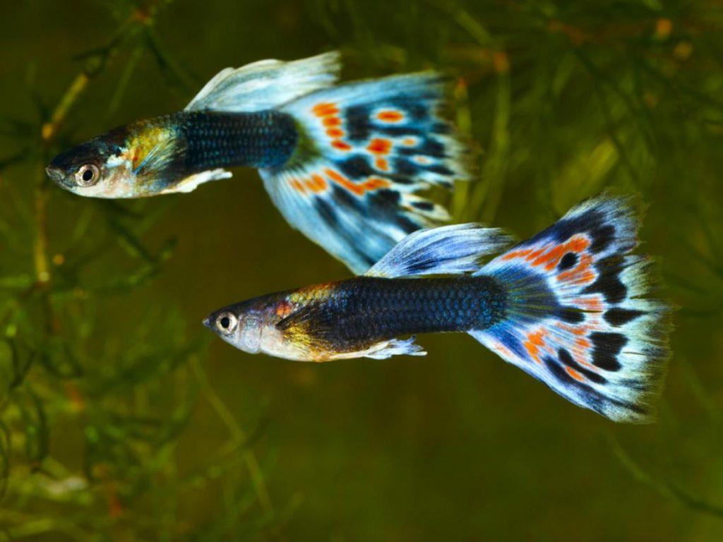 10 peces de gran belleza que puedes disfrutar en tu acuario