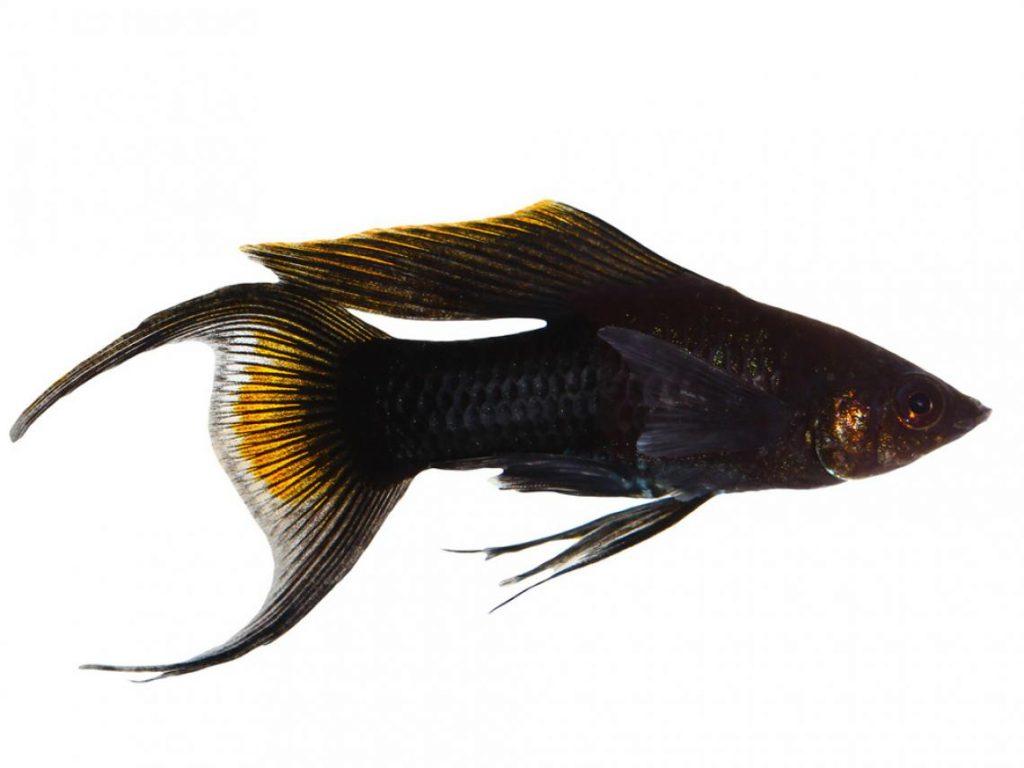 peces-molly