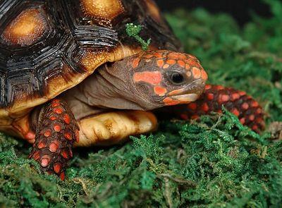 tortugas-terrestres-las-tortugas-de-tierra