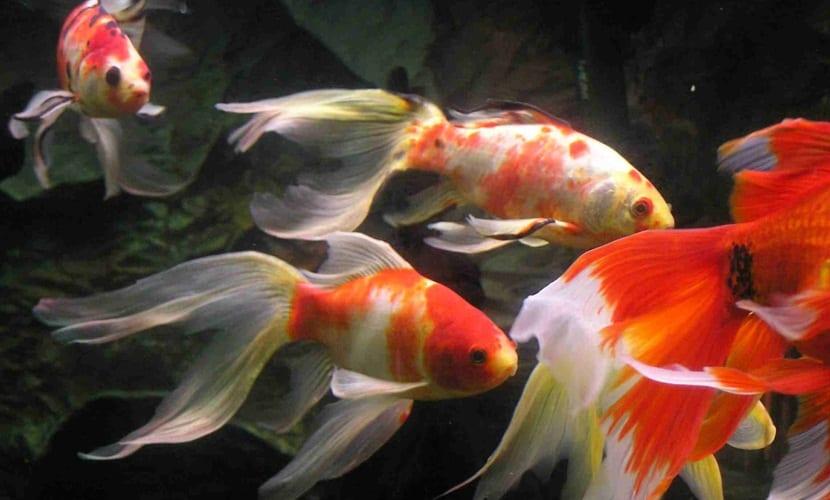 peces-de-agua-fria
