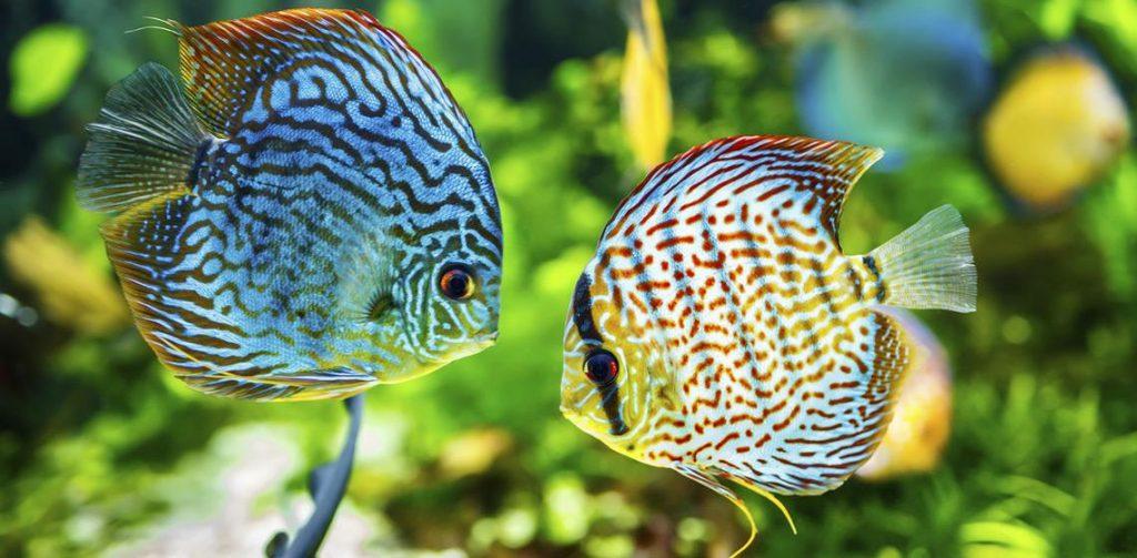 10 peces de gran belleza que puedes tener y disfrutar en tu acuario