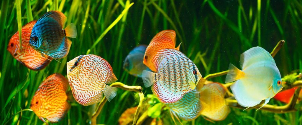 peces-de-agua-dulce