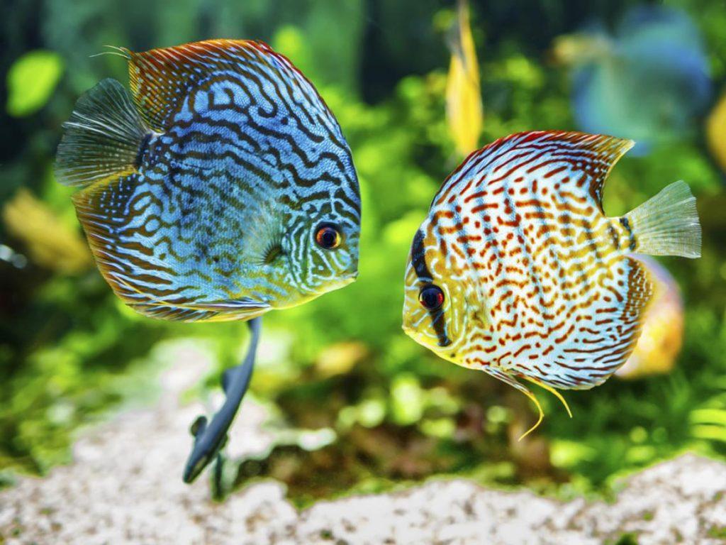 10-especies-de-peces-de-gran-belleza-que-puedes-tener-en-tu-acuario-pez-disco
