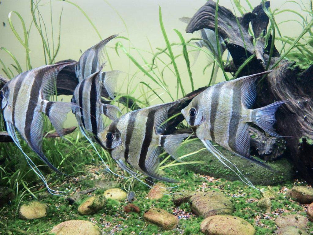 10-especies-de-peces-de-gran-belleza-para-acuario-pez-Ángel