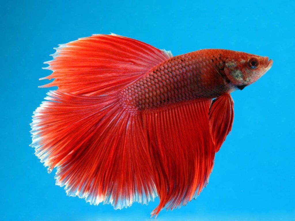 10-peces-de-gran-belleza-que-puedes-gozar-en-tu-acuario-Betta