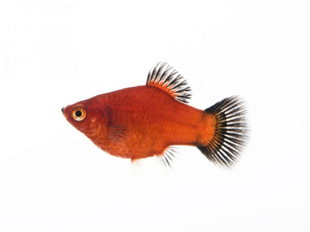 peces-platy