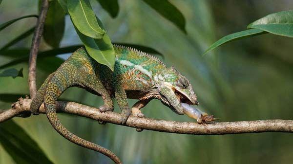 razas de reptiles-camaleón