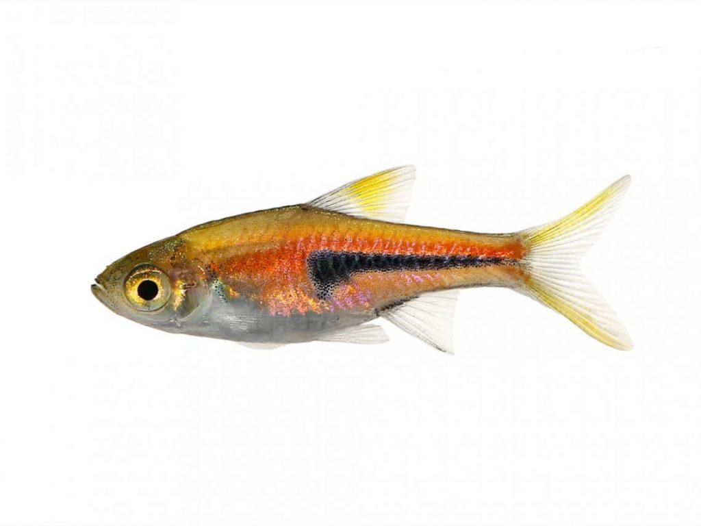 peces-rasbora