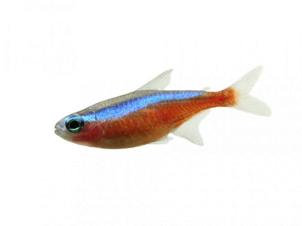 10-peces-de-enorme-hermosura-que-puedes-tener-en-tu-acuario-pez-tetra