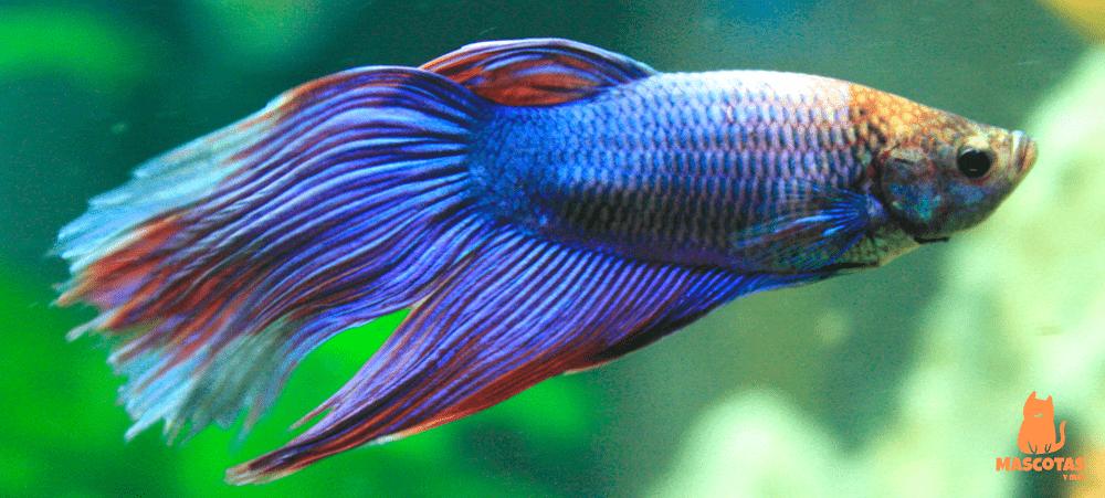 tipos-de-peces-betta