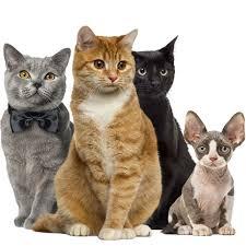 tienda-de-mascotas: Razas de Gato