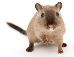 roedores-roedor
