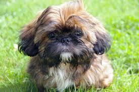 razas-de-perros-pequeños-que-no-crecen-Shih-Tzu