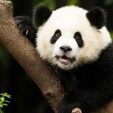 animales-bonitos-oso-panda
