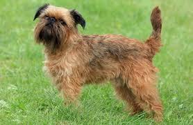 razas-de-perros-pequeños-grifón-belga
