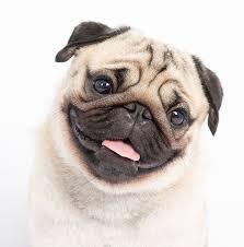 razas-de-perros-pequeños-pug