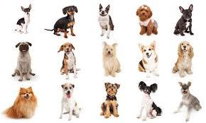razas-de-perros-pequeños-que-no-crecen