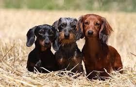 razas-de-perros-pequeños-que-no-crecen-Teckel