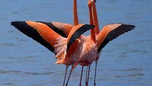flamenco es un ave exotica